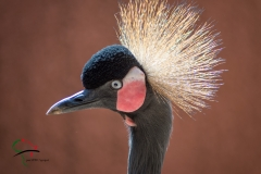 The profile of a Black Crowned Crane