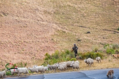 Man herding sheep across the road
