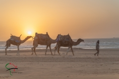 Man walking camels on the beach