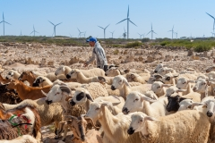 Man herding sheep in front of a wind farm