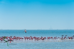 Flamingos resting in water.
