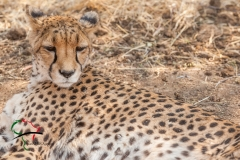 Cheetah resting in reservation