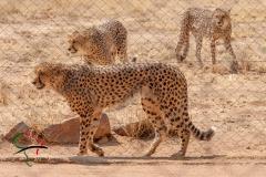 Cheetahs walking around in a reservation