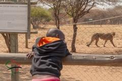 Child looking at a cheetah