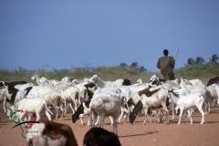 Shepard herding goats in Dakar
