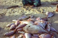 A pile of Red Snappers in front of a vendor in Dakar