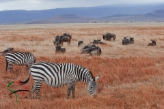 Two zebras in front of a group of wildebeasts