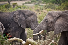 Two elephants eating