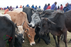 Men from the Maasai tribe with cattle