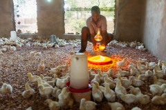 Farmer cleaning a chicken