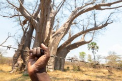 Barbed wire in front of baobab tree