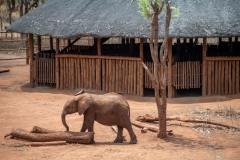 Elephant at  Lilayi elephant nursery