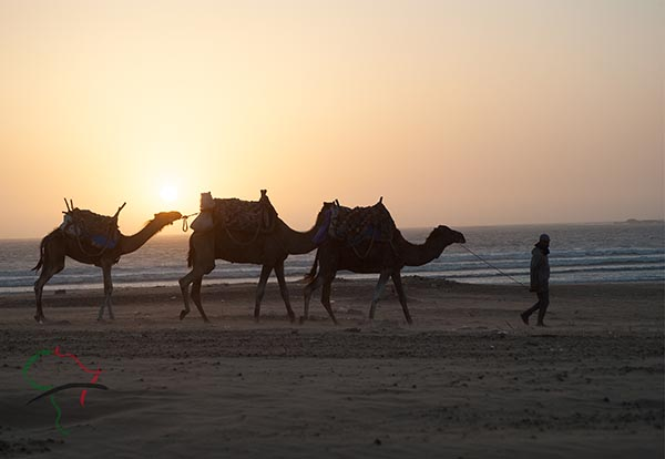 Man walking camels on the beach in Essaouira