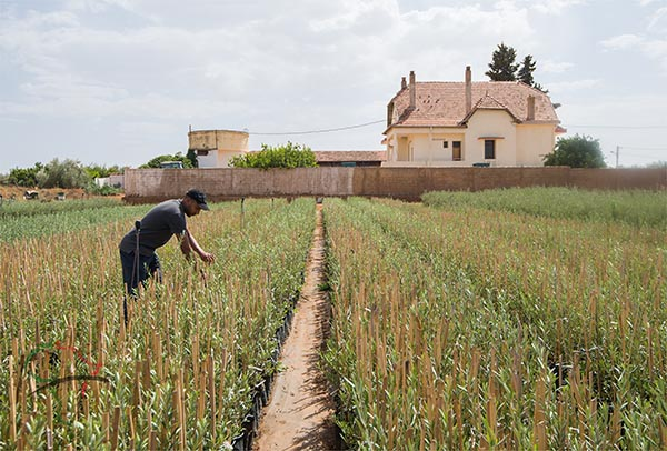 An agronomist tending to fields at the AICHA vineyard in Meknes